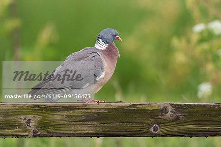 Wood pigeon (Columba palumbus), perched on fence, Kent, England, United Kingdom, Europe