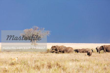 Lioness (Panthera leo) and African elephant (Loxodonta africana), Serengeti National Park, UNESCO World Heritage Site, Tanzania, East Africa, Africa