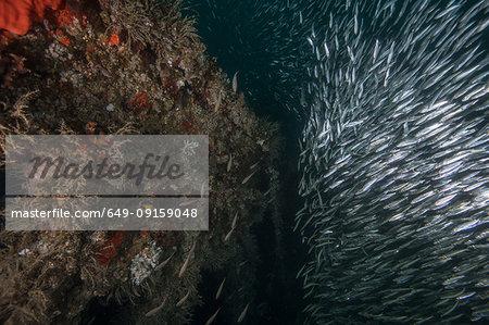 Shoals of sardines gather around a shipwreck, Isla Mujeres, Quintana Roo, Mexico