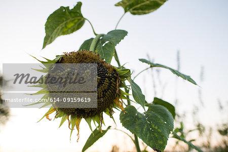 Drooping sunflower seedhead against clear sky