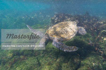 Pacific green sea turtle (Chelonia mydas agassizi), Post Office Bay, Floreana Island, Galapagos Islands, Ecuador, South America