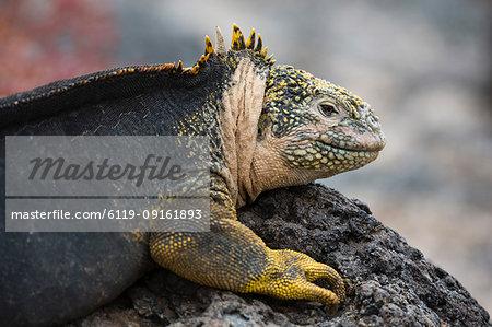 Land Iguana (Conolophus subcristatus), South Plaza Island, Galapagos Islands, UNESCO World Heritage Site, Ecuador, South America