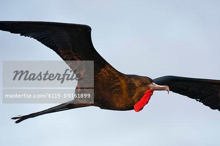 Great Frigate bird (Fregata minor ridgwayi) in flight, South Plaza Island, Galapagos Islands, Ecuador, South America