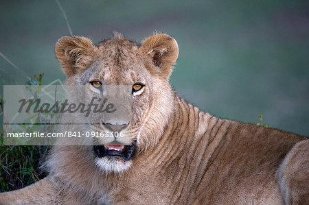 Lioness (Panthera leo) in savanna, Masai Mara Game Reserve, Kenya, East Africa, Africa
