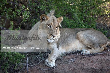 Lion (Panthera leo), Keer-Keer, South Africa, Africa