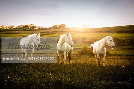 Three white horses in field at sunset, Doolin, Clare, Ireland