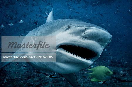 Bull shark (Carcharhinus leucas), swimming towards camera, underwater view, Beqa Lagoon, Beqa, Fiji