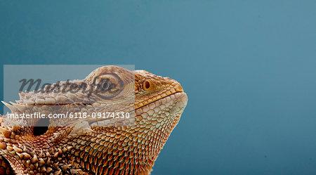 Portrait of head of Bearded Dragon (Pogona) against blue background