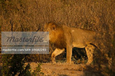 Lion (Panthera leo), Mana Pools, Zimbabwe