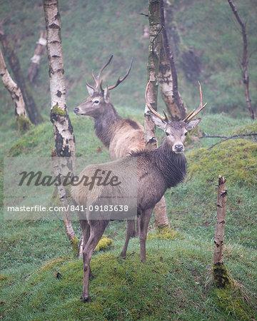 Red Deer (Cervus elaphus) stag and silver birch trees in woodland location, Peak District, Derbyshire, England, United Kingdom, Europe