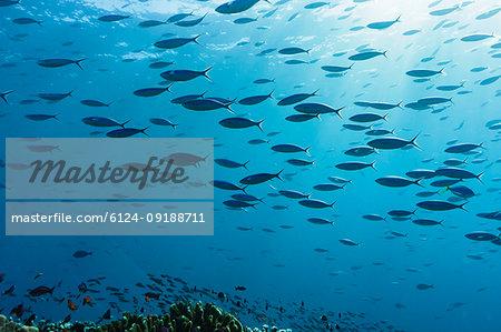 School of tropical fish swimming underwater in blue ocean, Vava'u, Tonga, Pacific Ocean