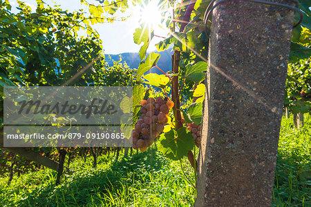 Termeno,Bolzano province,Trentino Alto Adige,Italy Views of the vineyards.