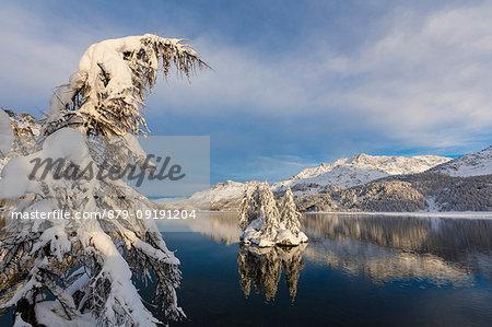 Snow covered trees, Lake Sils, Plaun da Lej, Maloja Region, Canton of Graubunden, Engadin, Switzerland