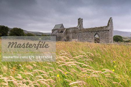 Fields of wheat ears around Corcomroe Abbey, The Burren, County Clare, Ireland