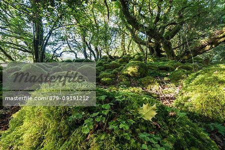 Green woods, Killarney National Park, County Kerry, Ireland