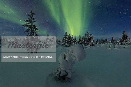 Northern lights on frozen trees, Pallas-Yllastunturi National Park, Muonio, Lapland, Finland