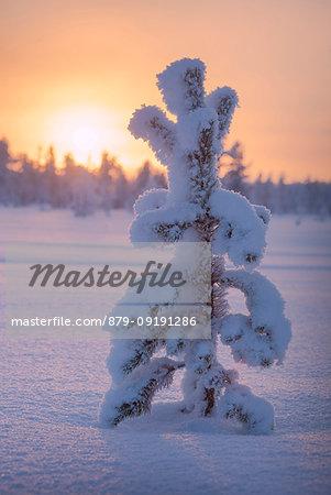 Sunset on lone frozen dwarf shrub, Luosto, Sodankyla municipality, Lapland, Finland