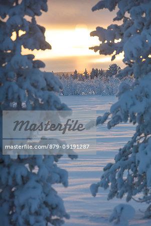 Sunset on frozen trees, Muonio, Lapland, Finland