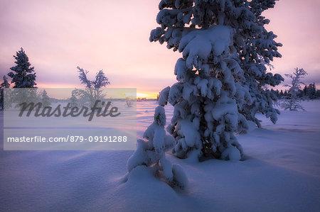 Snow covered tree at sunset, Muonio, Lapland, Finland