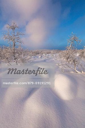 Trees covered with snow, Muonio, Lapland, Finland