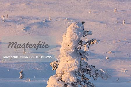 Snow covered tree, Pallas-Yllastunturi National Park, Muonio, Lapland, Finland
