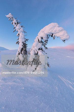 Isolated frozen tree in the snow, Pallas-Yllastunturi National Park, Muonio, Lapland, Finland