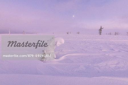Sunrise on frozen dwarf shrub, Pallas-Yllastunturi National Park, Muonio, Lapland, Finland