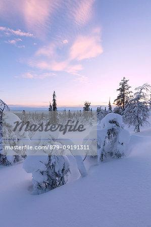Frozen dwarf shrub at sunset, Pallas-Yllastunturi National Park, Muonio, Lapland, Finland