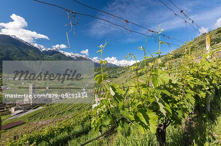 Vineyards around the village of Bianzone, Sondrio province, Valtellina, Lombardy, Italy