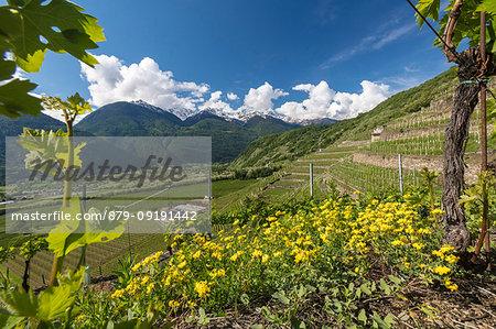 Vineyards and terracing, Bianzone, Sondrio province, Valtellina, Lombardy, Italy