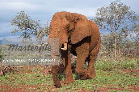 Elephant (Loxodonta africana) bull, Zimanga Private Game Reserve, KwaZulu-Natal, South Africa, Africa