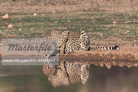 Cheetah (Acinonyx jubatus) drinking, Kgalagadi Transfrontier Park, South Africa, Africa
