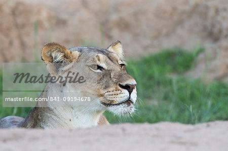 Alert lioness (Panthera leo), Kgalagadi Transfrontier Park, South Africa, Africa