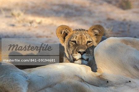 Young lion (Panthera leo), Kgalagadi Transfrontier Park, South Africa, Africa