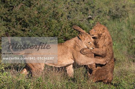 Lions (Panthera leo) playfighting, Zimanga Private Game Reserve, KwaZulu-Natal, South Africa, Africa