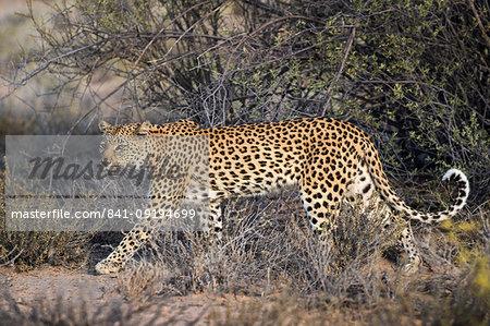 Leopard (Panthera pardus), Kgalagadi Transfrontier Park, South Africa, Africa