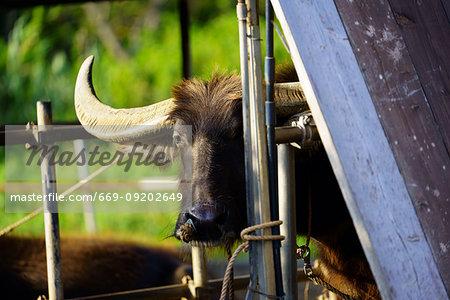 Water buffalo, Iriomote Island, Okinawa Prefecture, Japan