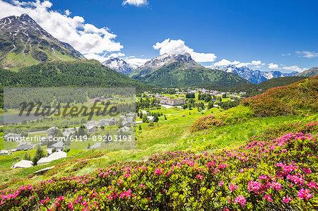 Rhododendrons in flower with Maloja Pass in the background, Maloja Pass, Engadine, Graubunden, Switzerland, Europe