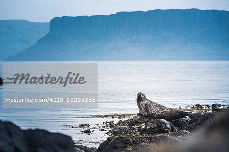 Seal on Rathlin Island, County Antrim, Ulster, Northern Ireland, United Kingdom, Europe