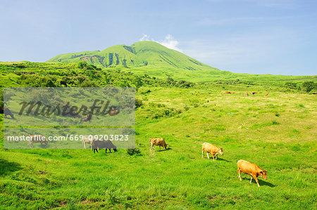 Cow in Aso, Kumamoto Prefecture, Japan