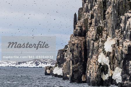 Brunnich's Guillemot (Uria lomvia) nesting cliffs at Cape Fanshawe, Spitsbergen, Svalbard, Arctic, Norway, Europe