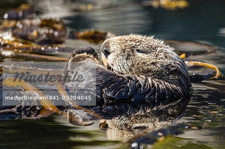 Adult sea otter (Enhydra lutris kenyoni) preening in the Inian Islands, Southeast Alaska, United States of America, North America
