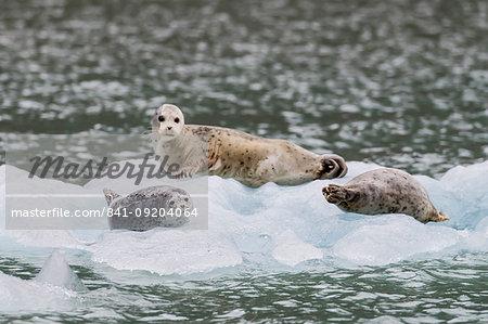 Harbor seals (Phoca vitulina), on ice in front of Dawes Glacier, Endicott Arm, southeast Alaska, United States of America, North America