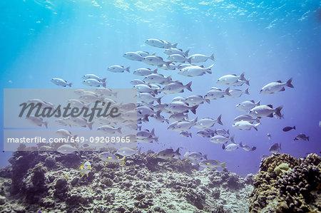 Shoal of Lowfin Drummers (Kyphosus vaigiensis) above coral reef, Bali, Indonesia