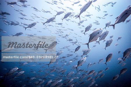 Shoal of bigeye trevally / Jackfish (Caranx sexfasciatus) , Lombok, Indonesia