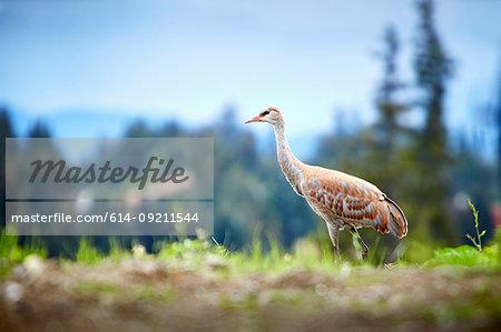 Portrait of sandhill crane, (Grus canadensis) Homer, Alaska, USA