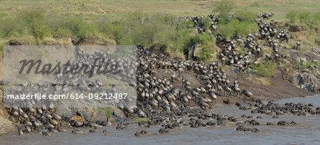 Western white-bearded wildebeest (Connochaetes taurinus mearnsi) on distant riverbank, Mara Triangle, Maasai Mara National Reserve, Narok, Kenya, Africa