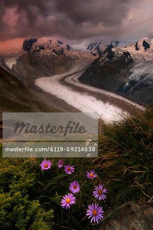 Wild flowers on rocks with Monte Rosa glacier in the background, Zermatt, canton of Valais, Swiss Alps, Switzerland, Europe