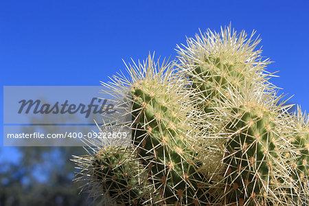 A cluster of Hedgehog Cacti (Echinocereus engelmannii) at the Desert Botanical Gardens in Phoenix, Arizona