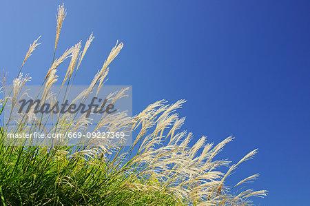 Japanese Grass (Miscanthus Sinensis)